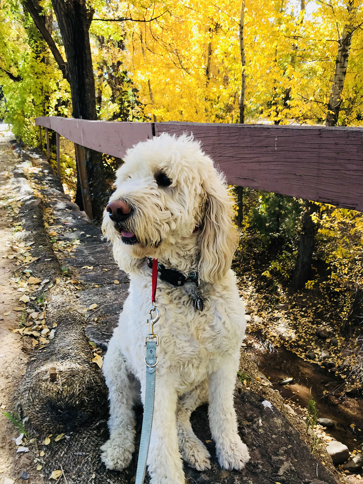 goldendoodle-in-fall.jpg