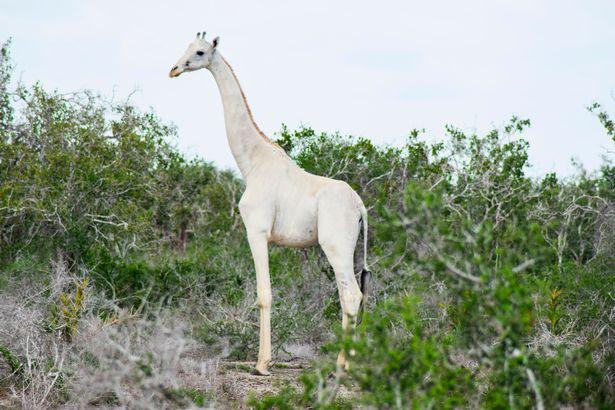 Giraffe white jubgle.png