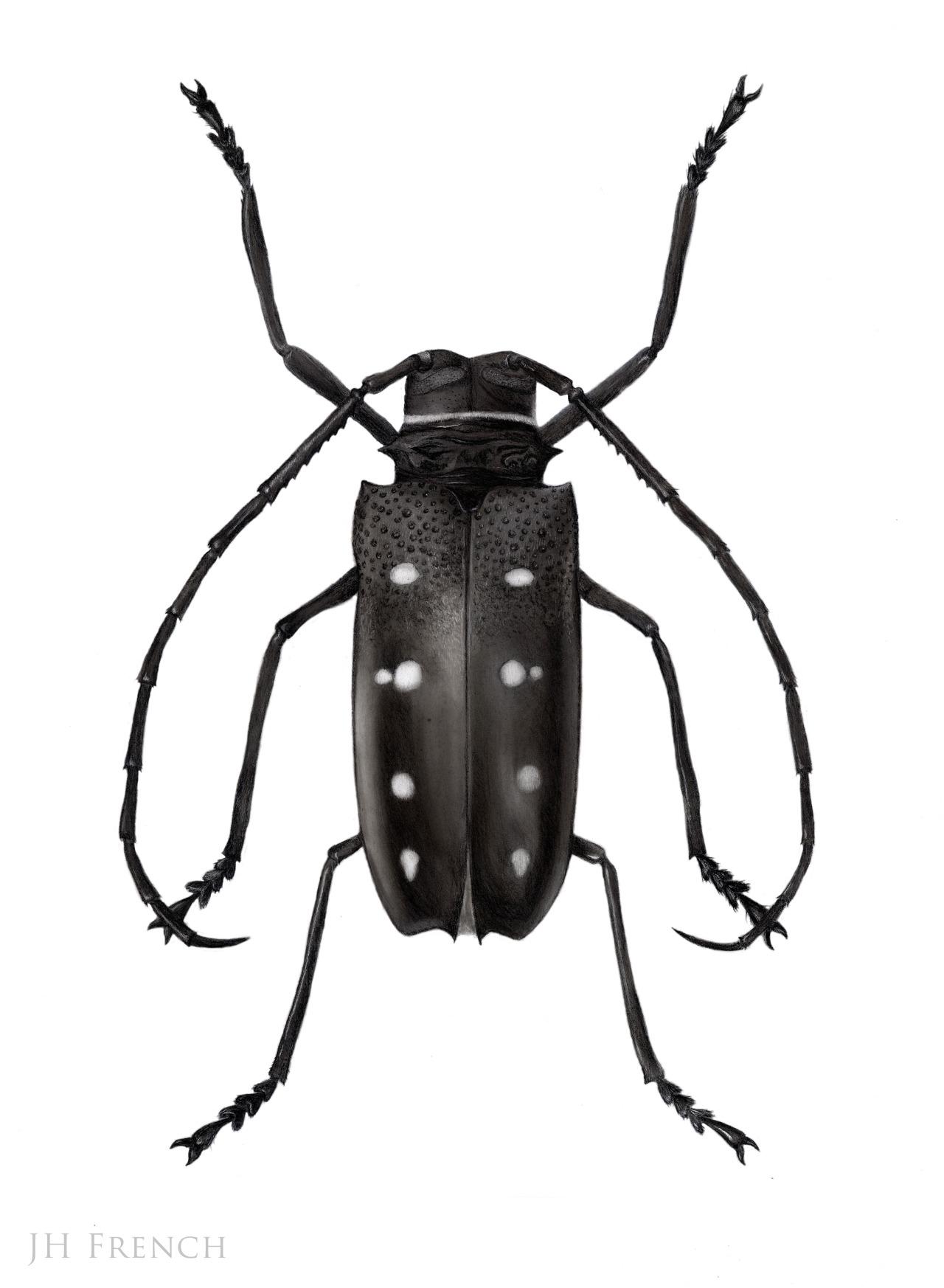 Flat-faced Longhorn Beetle