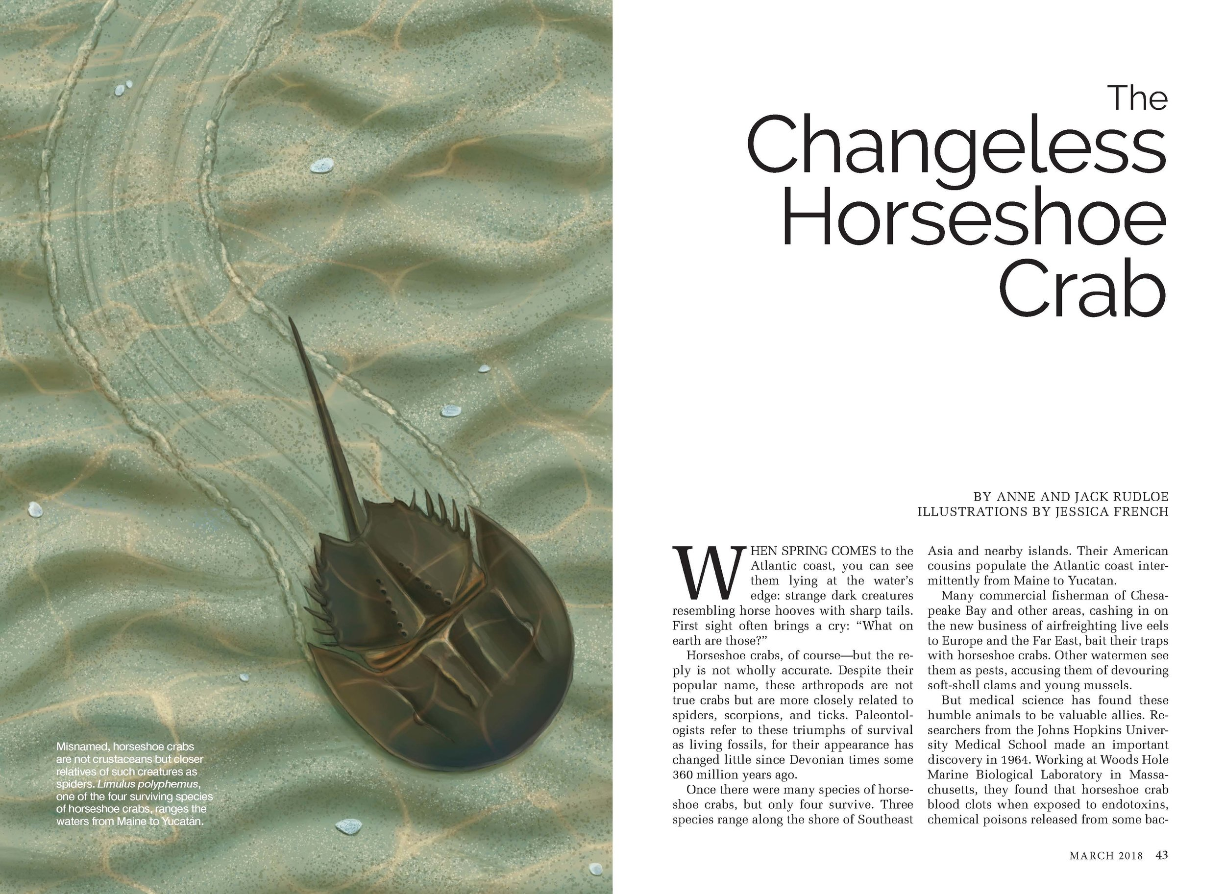 The Changeless Horseshoe Crab