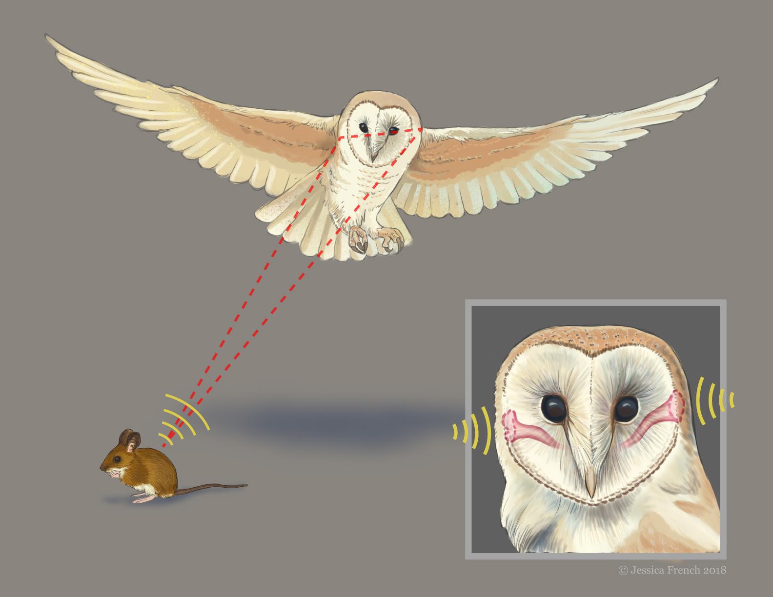How Owls Hear