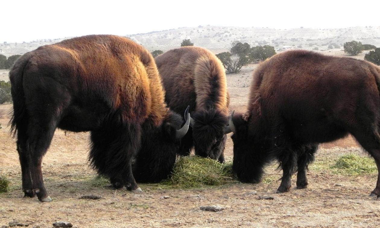 P-buffalo - 3 of them.jpg