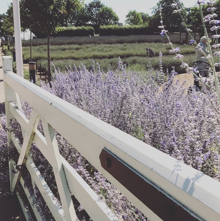 Norfolk Lavender at Walsingham Farm Shop and animal farm