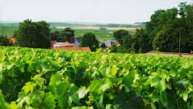 Champagne vines in Ludes by  Frédéric Baussart . Licenced under  creative commons