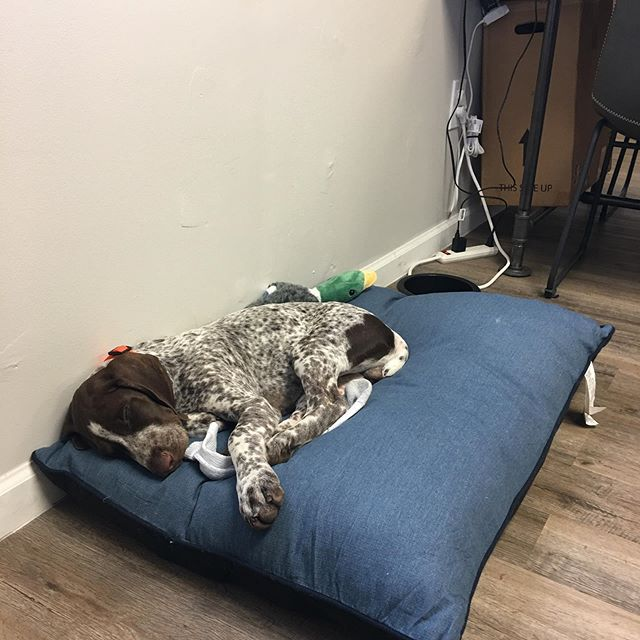 Good work ethic is hard to come by. Our newest employee, Bodie, is already sleeping on the job. . . . #marketing #branding #photography #videography #graphicdesign #webdesign #socialmediamarketing #gsppuppy #gsphuntingdogs #gsphunting #gspofinstagram #gspworld #gspcommunity