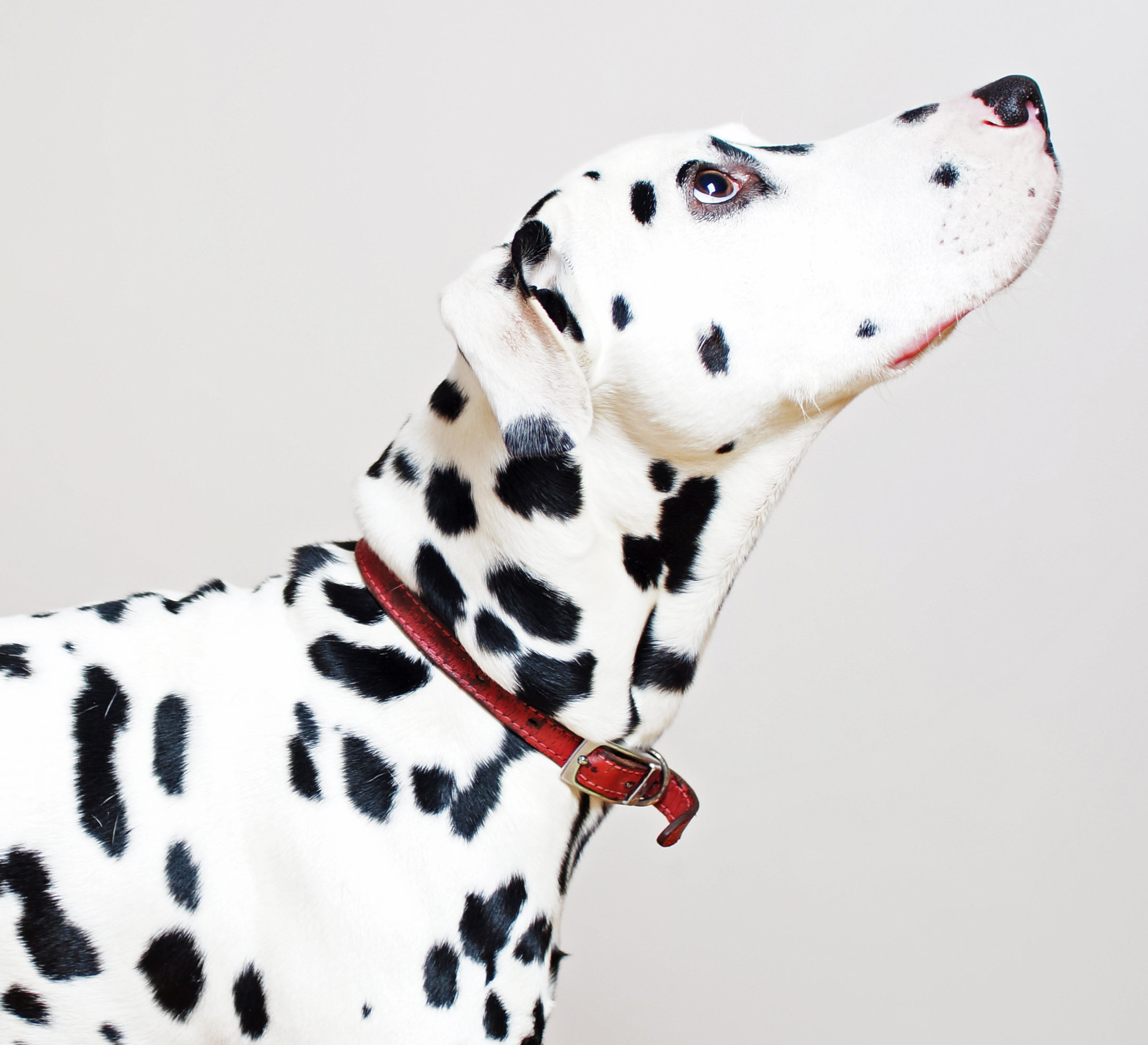Dalmatian-looking-up-162143611_3127x2969.jpeg