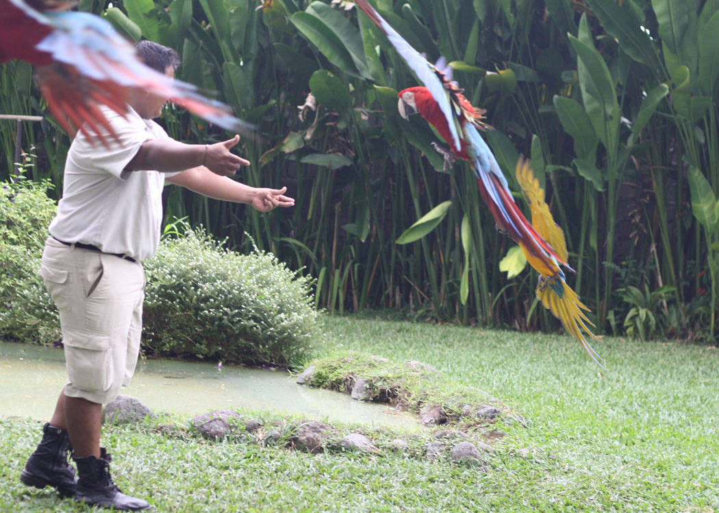 Amazon parrots performing at the Bali Bird Park