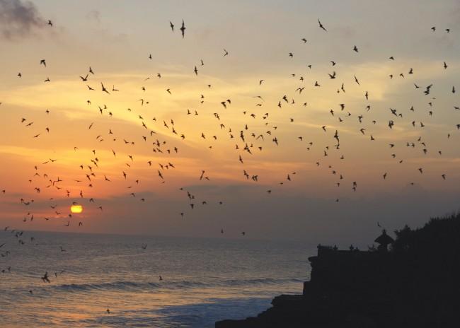 Bats at sunset Tanah Lot