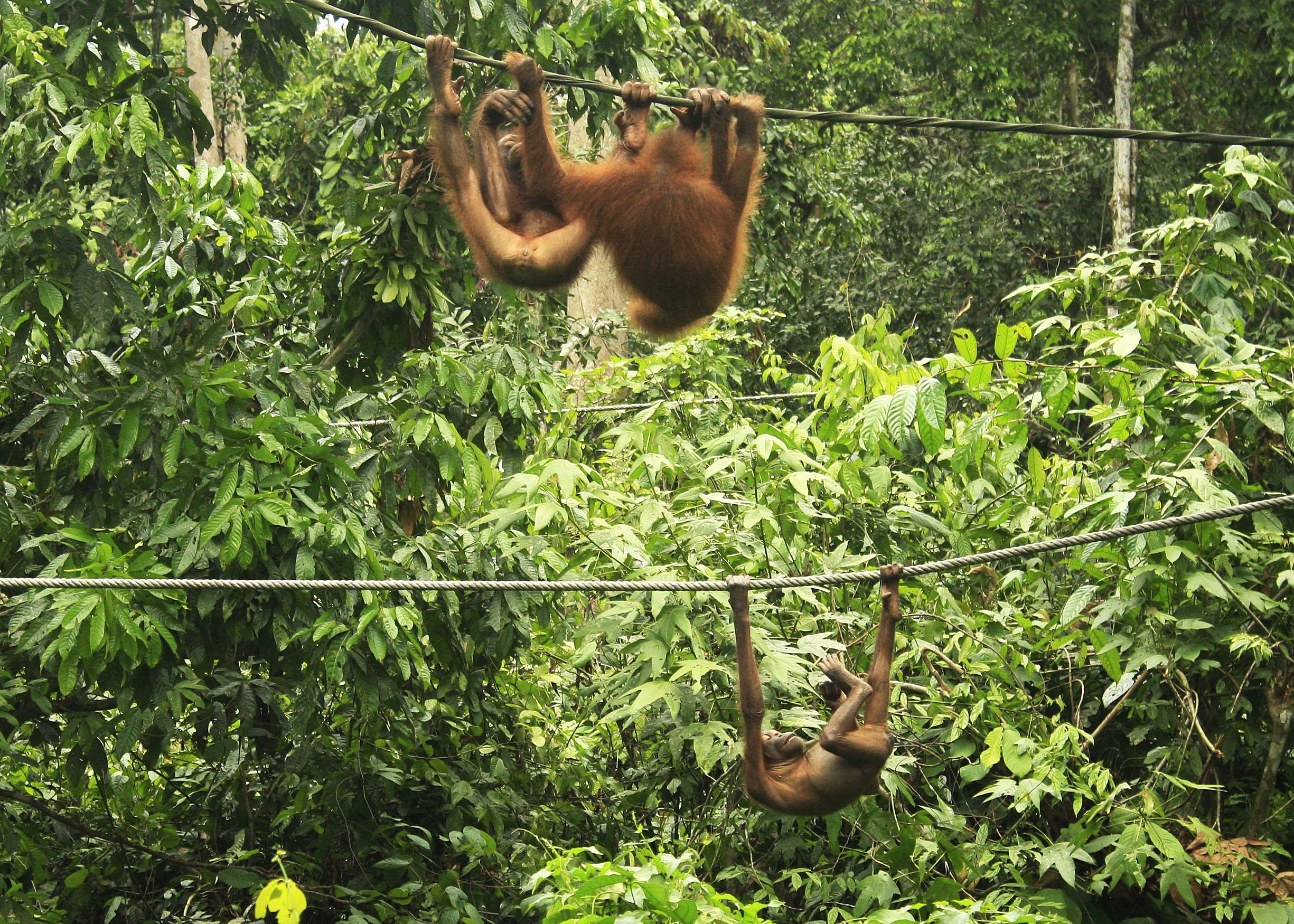 Sepilok Orangutan Rehabilitation Center