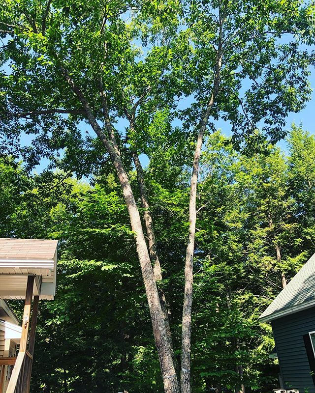 Todays removal! #quercusrubra #pointsebago #hutchstree #mainearborist #isa #ropeandharness #rigginglife