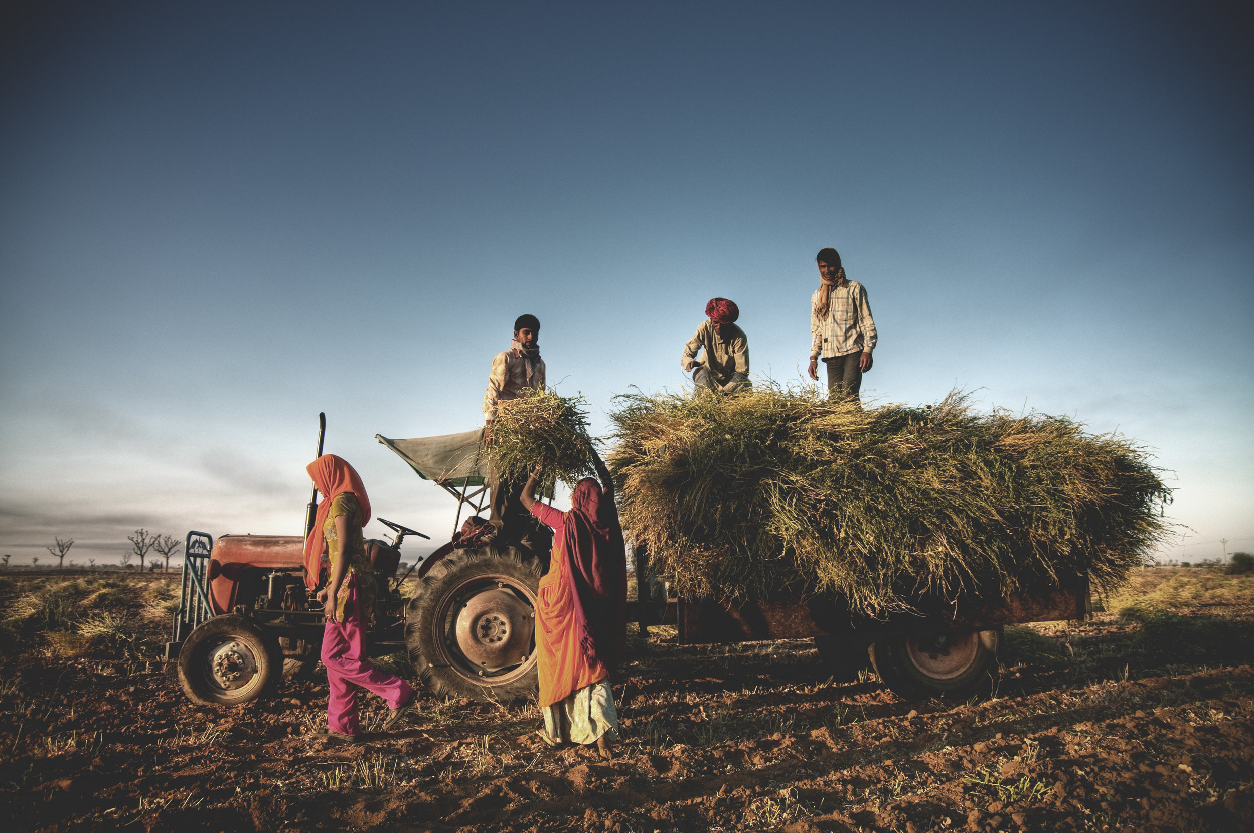 india-family-faeming-harvesting-crops-harvesting-P9MUZNB.jpg