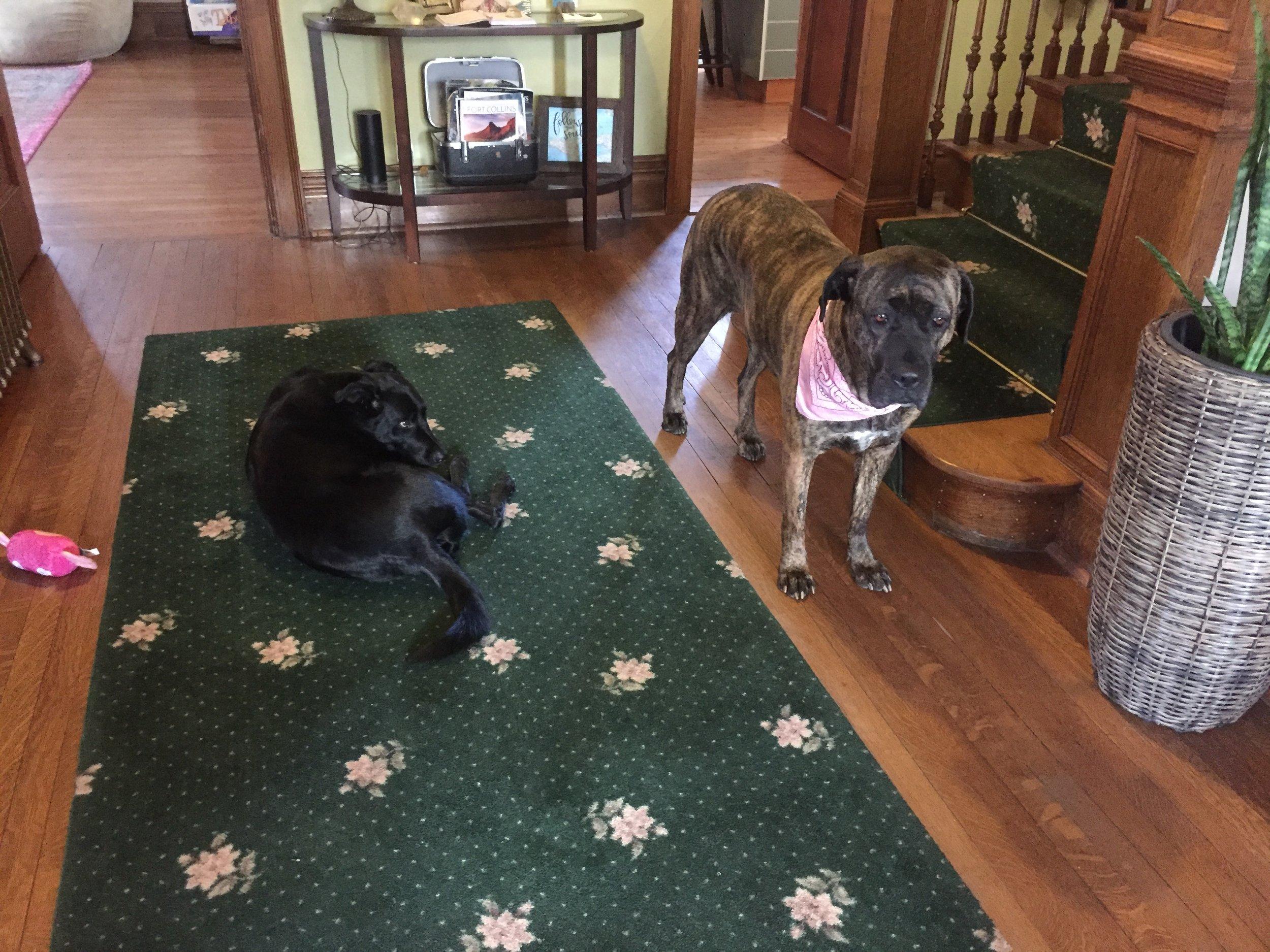 Hostel Doggos: Cash & Tess!