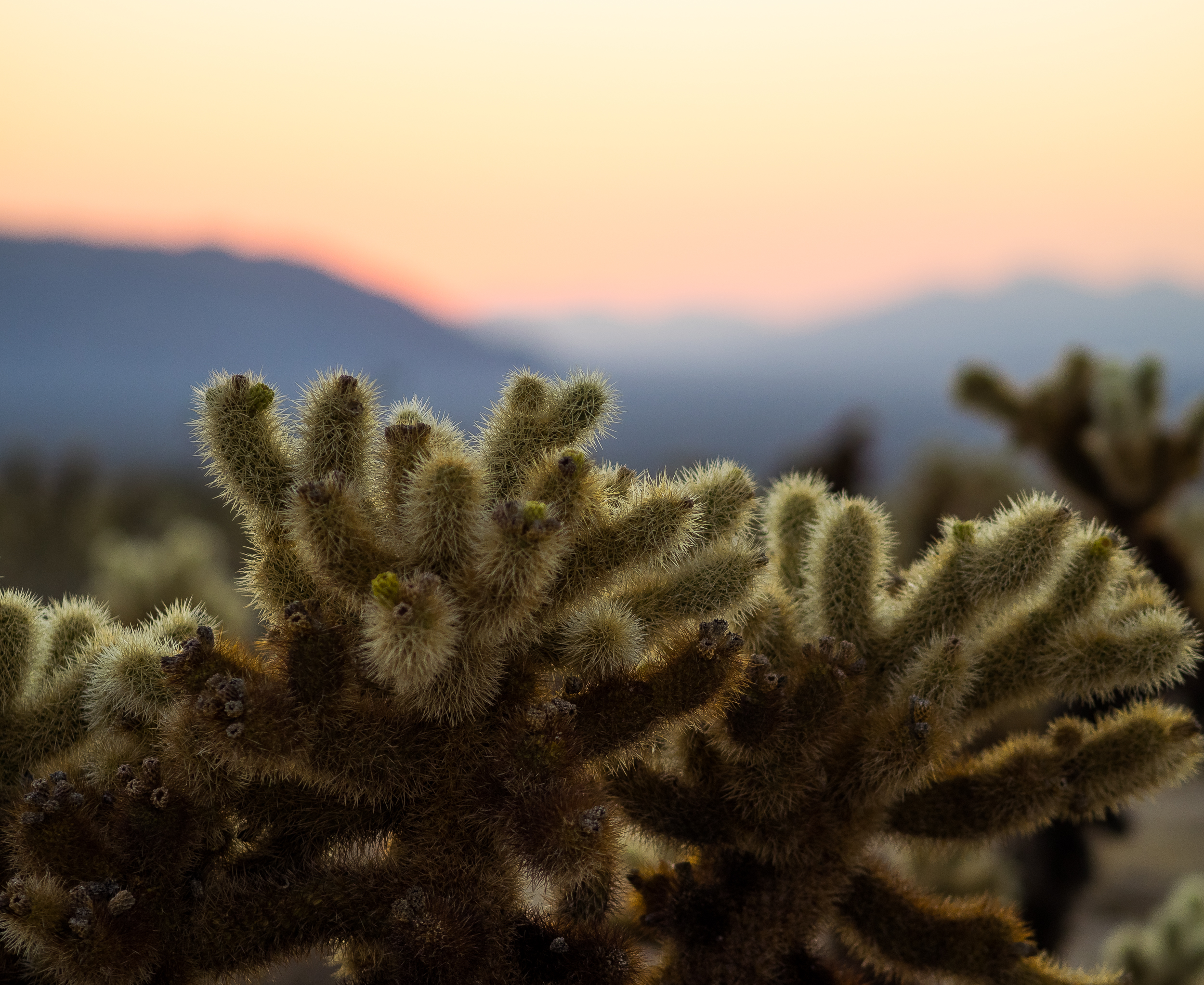 Cholla Cactus Joshua Tree National Park-12.jpg