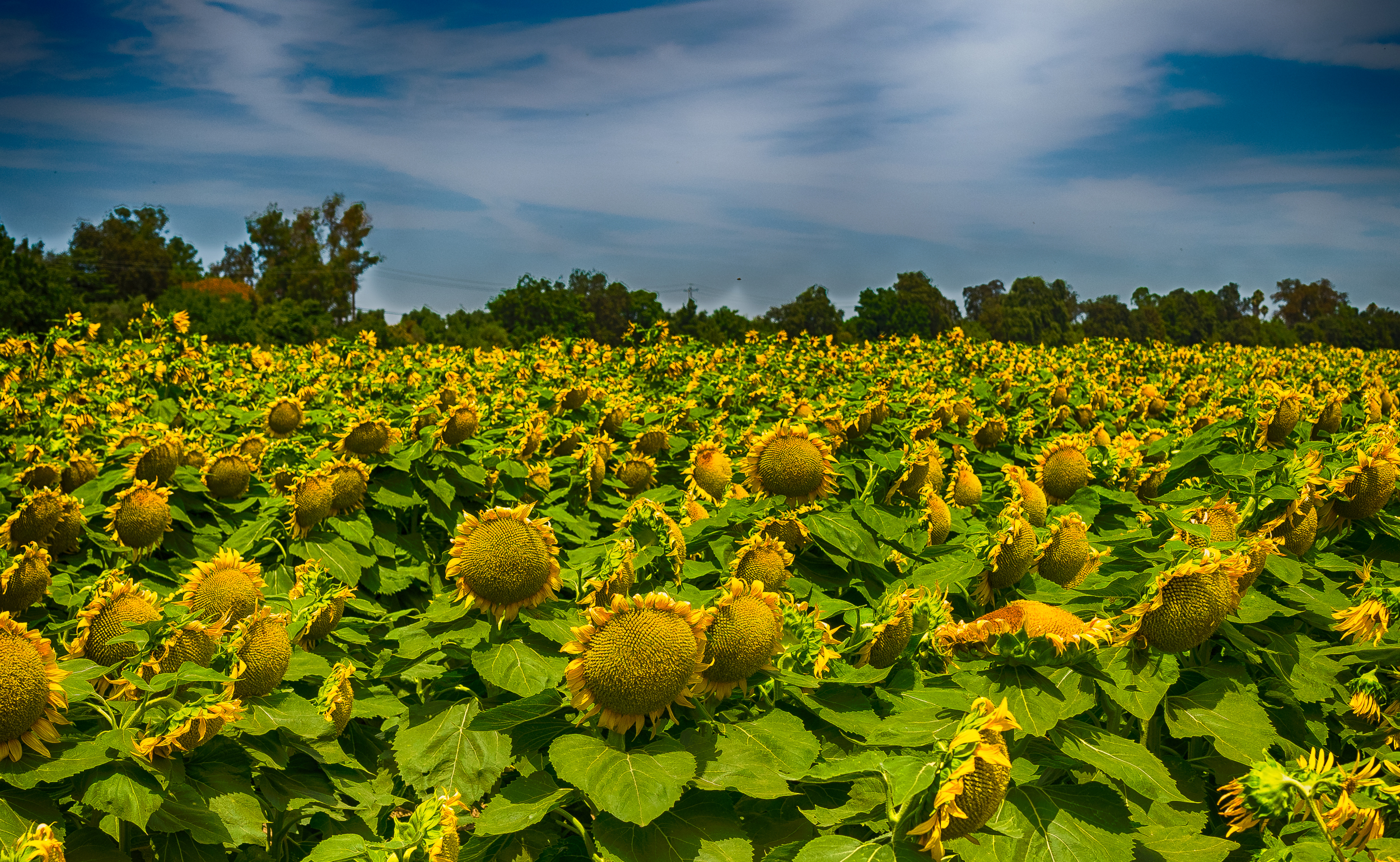 Sunflowers-41_HDR.jpg