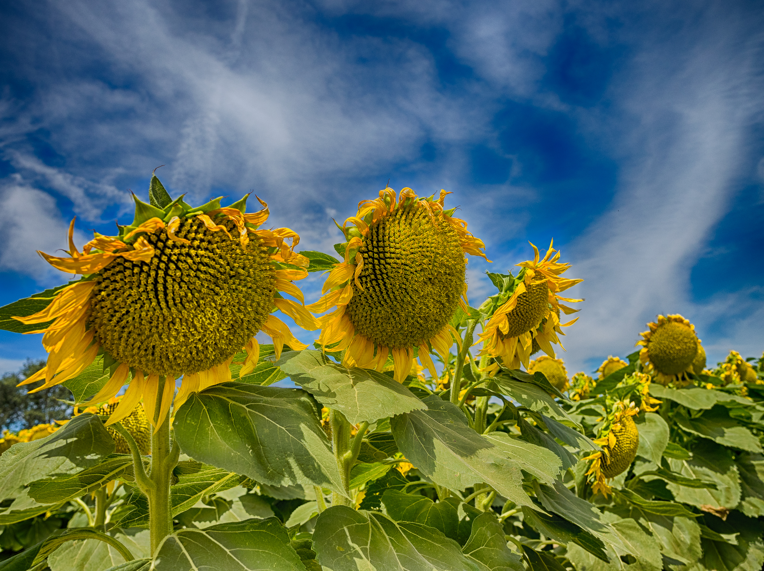 Sunflowers-24_HDR.jpg