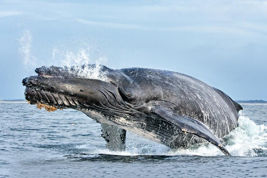 Porpoising Whale