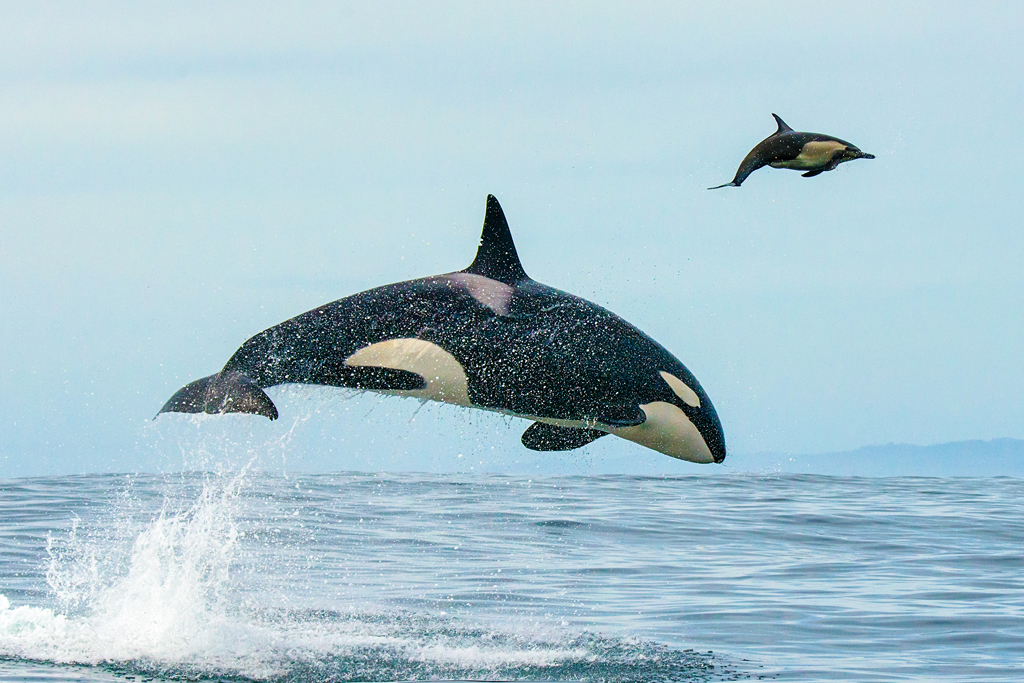 Orca on the Hunt