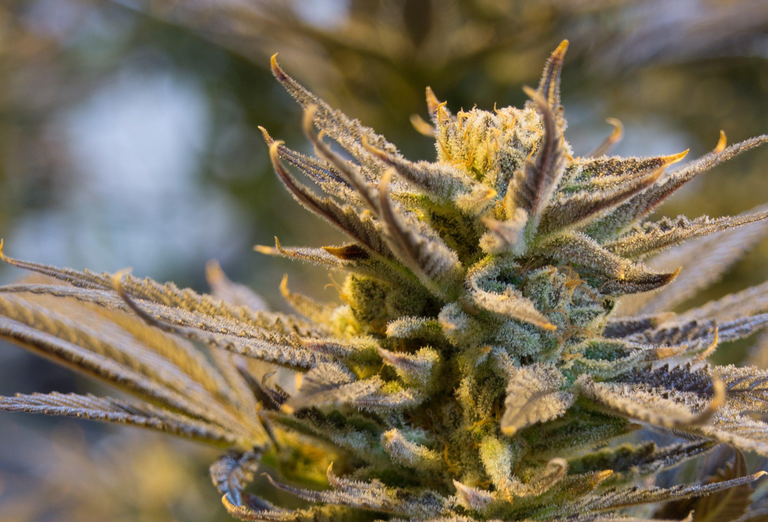 cannabis-2152602.jpg