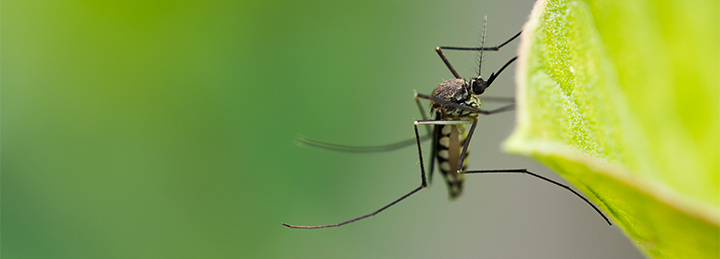 Mosquito in yard