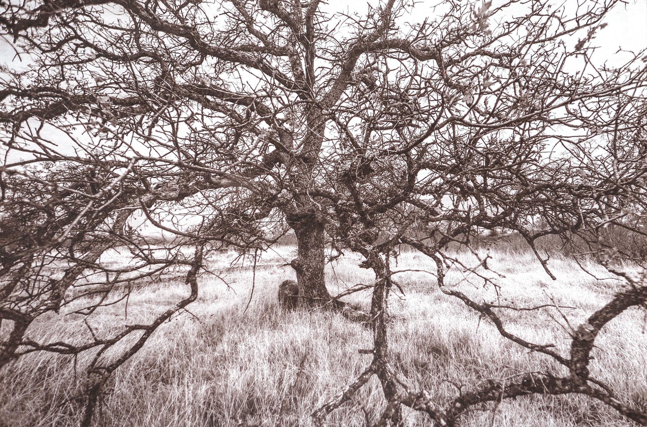 Hooker Oak.jpg