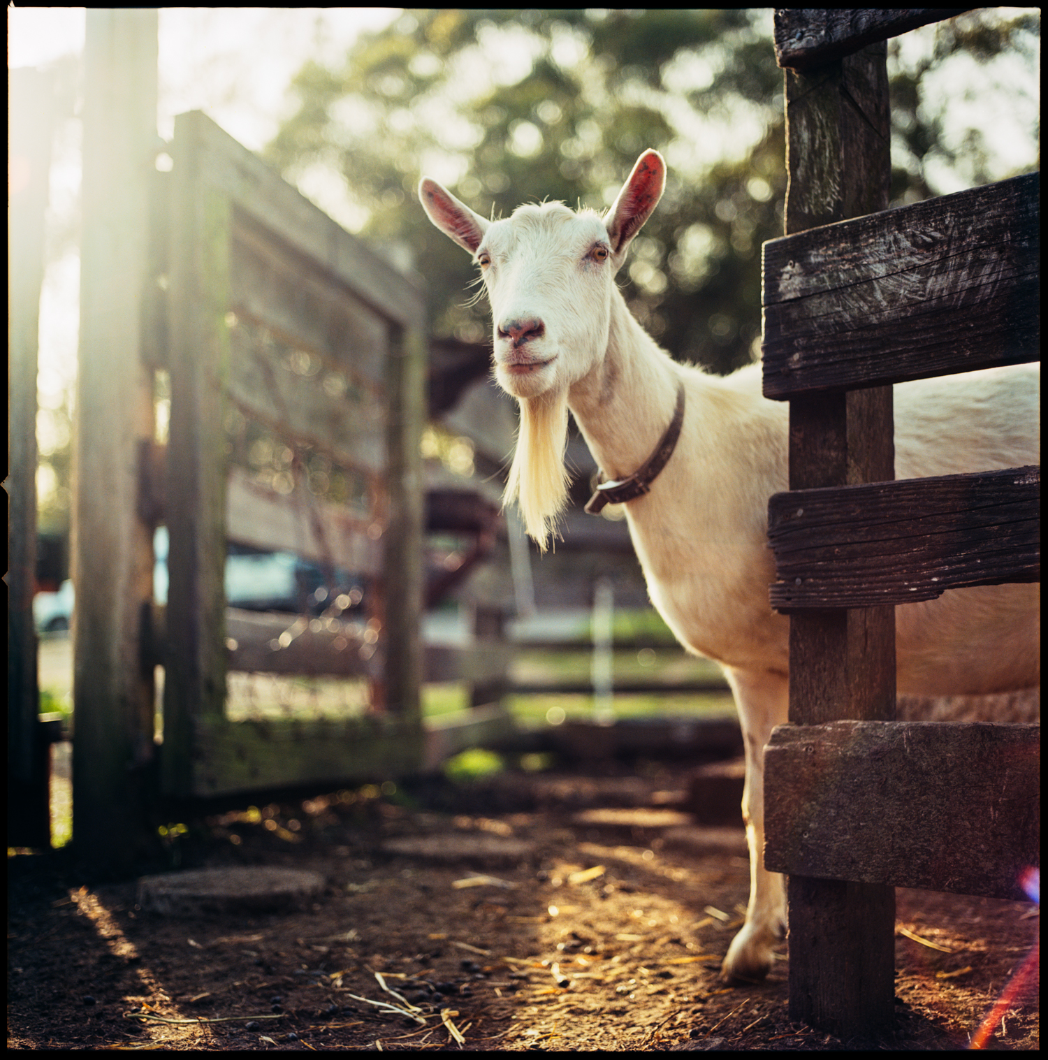 """Grain the Goat"" by Nathan DeHart"