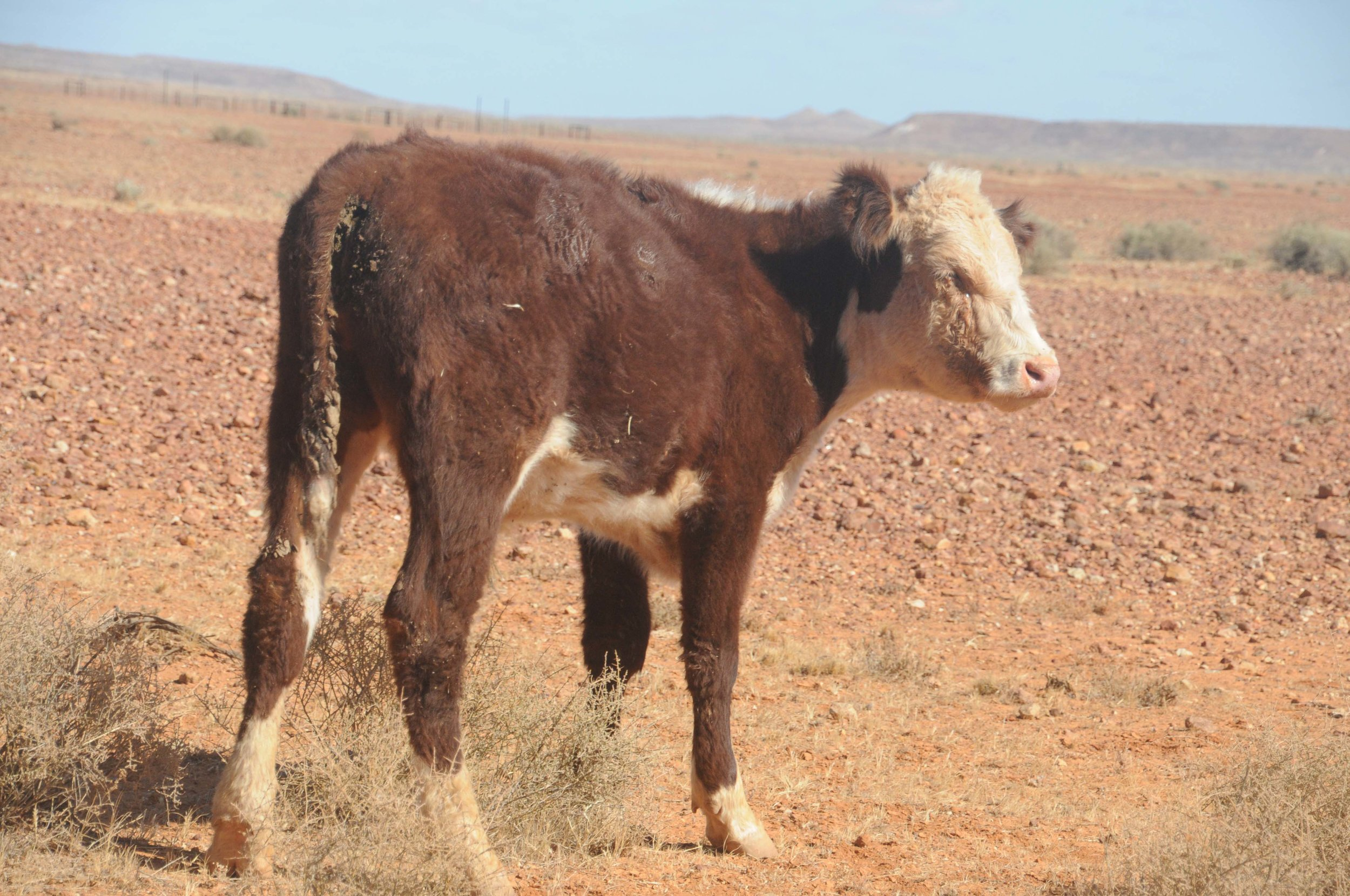 Far North S A. Not a happy looking half grown cow.    Raised on near barren land at 1 animal per   1 square kilometre.