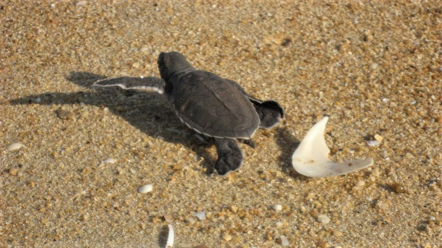 2hatchling-on-his-way_2399892419_o.jpg