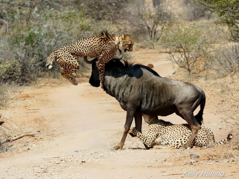 Kelly Huening cheetah mammals.jpg
