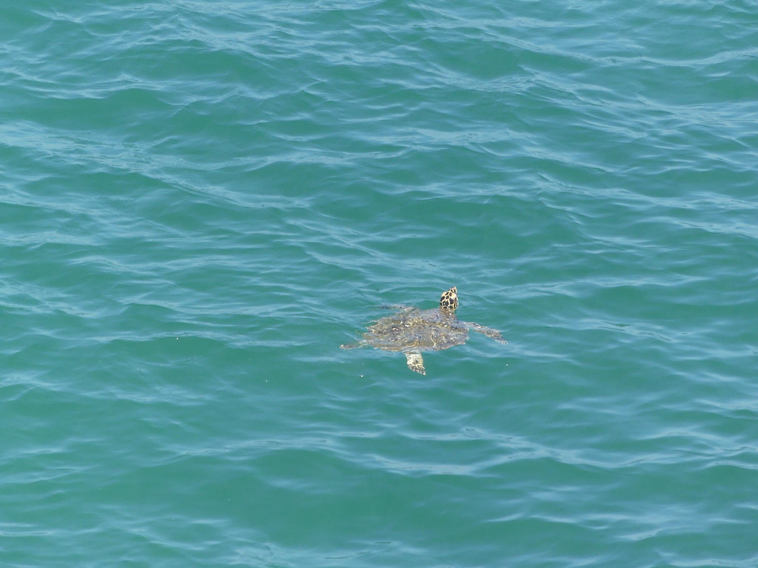 merikilpikonna Thaimaa.JPG