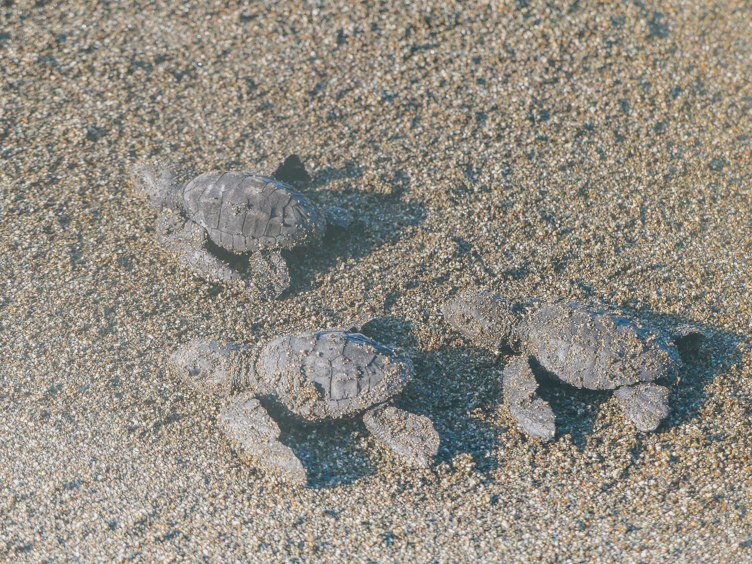 vastasyntyneet merikilpikonnat.jpg