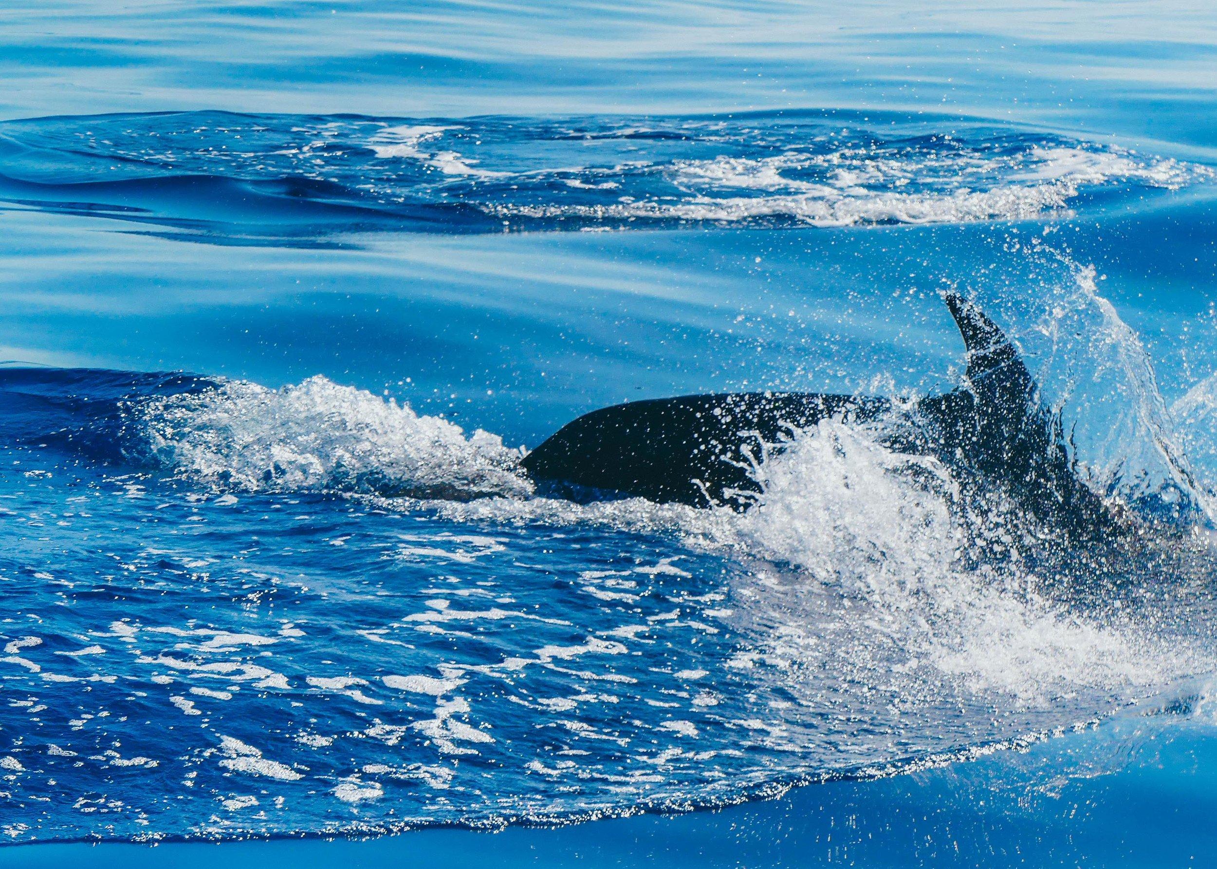 Pääset näkemään valaita ja delfiinejä todennäköisesti jokaisella merimatkalla, koska monet näistä meressä asuvista nisäkkäistä asuvat alueella pysyvästi.