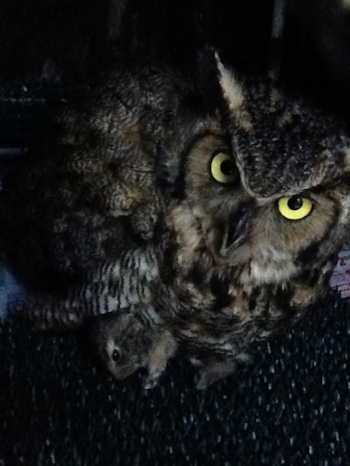 great horned owl rescue.jpg