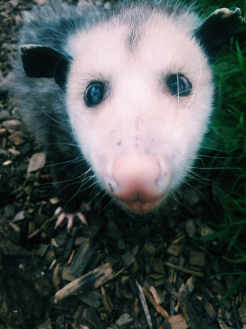 Virginia opossum Philadelphia Metro Wildlife Center