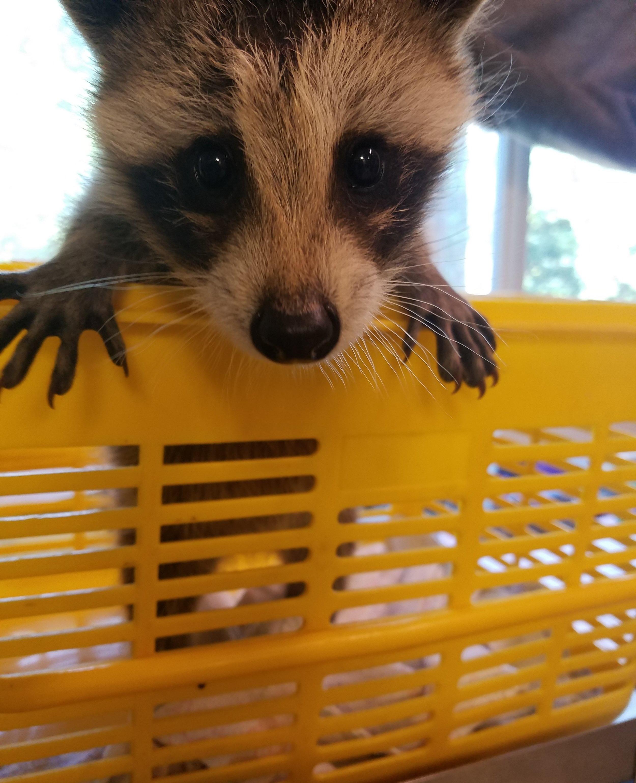 baby raccoon Philadelphia Metro Wildlife Center