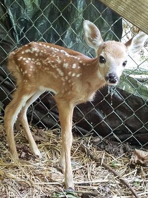 fawn baby deer.jpg