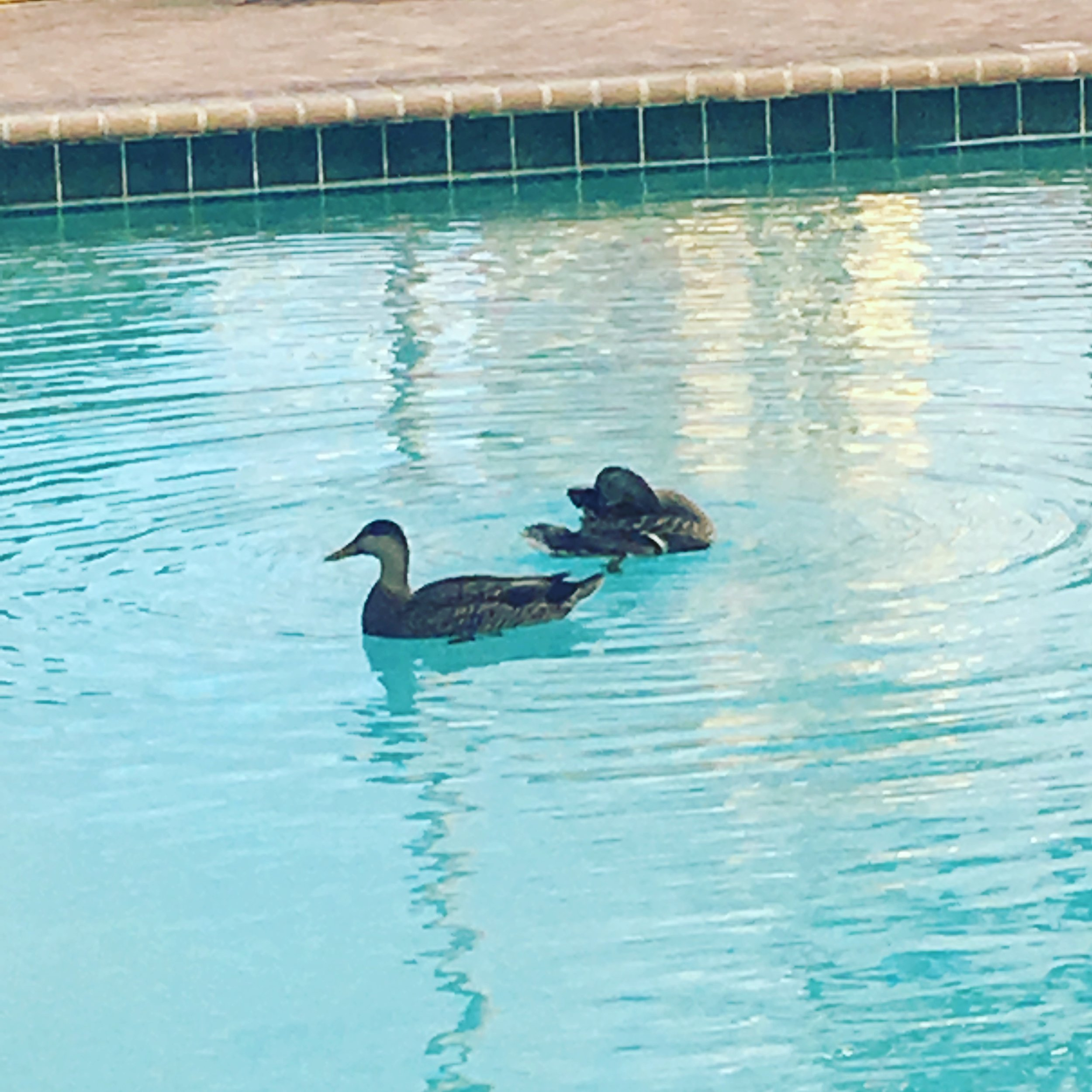 And, perhaps the best birds, the common pool duck