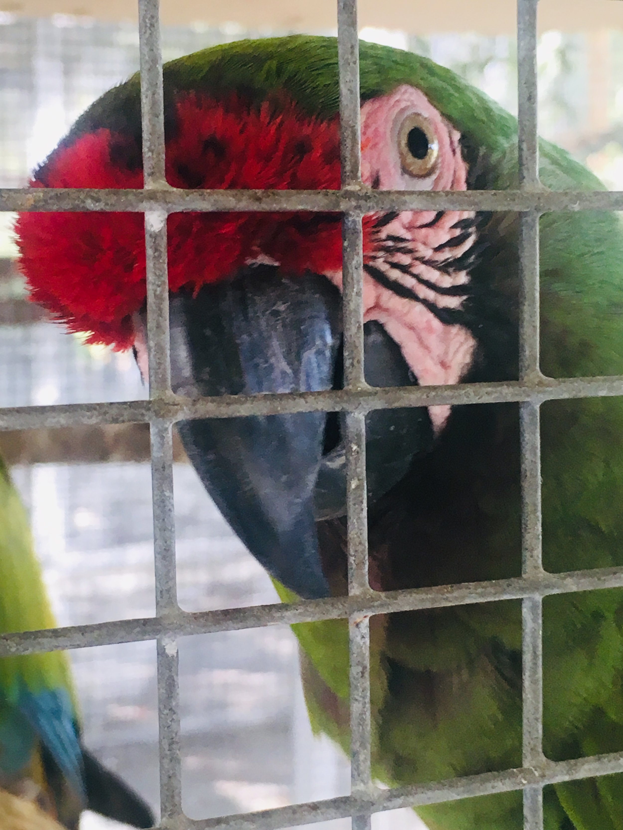 NEI Ranch Military Macaw