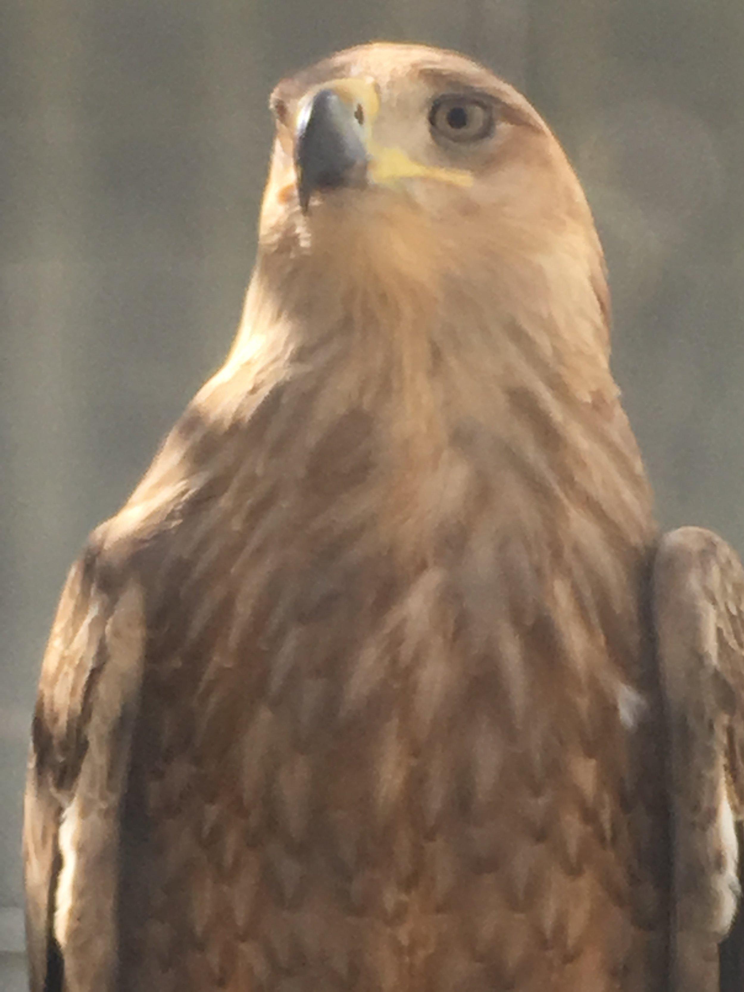 NEI Ranch Tawny eagle