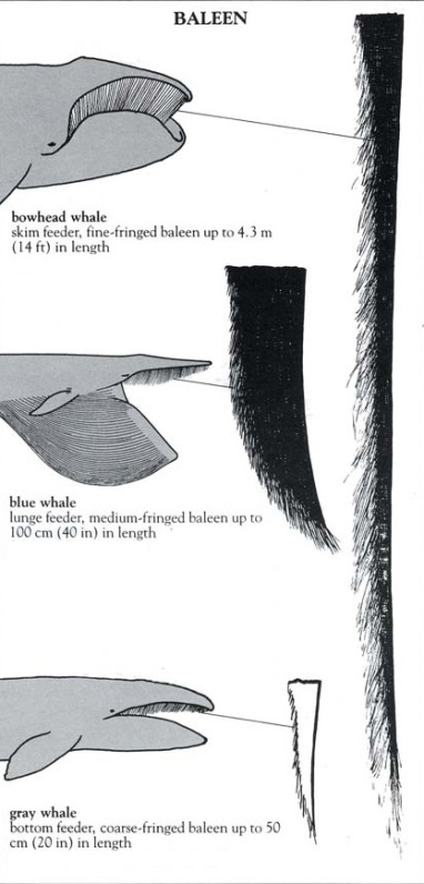 baleen examples.jpg