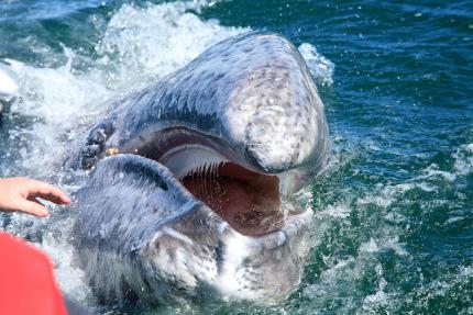 gray whale baleen.jpg