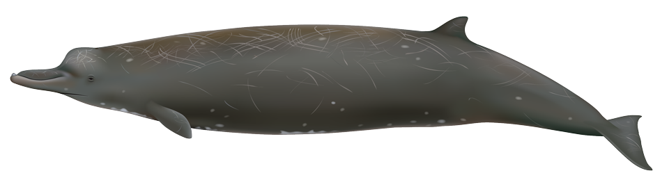Baird's Beaked Whale (berardius bairdii)
