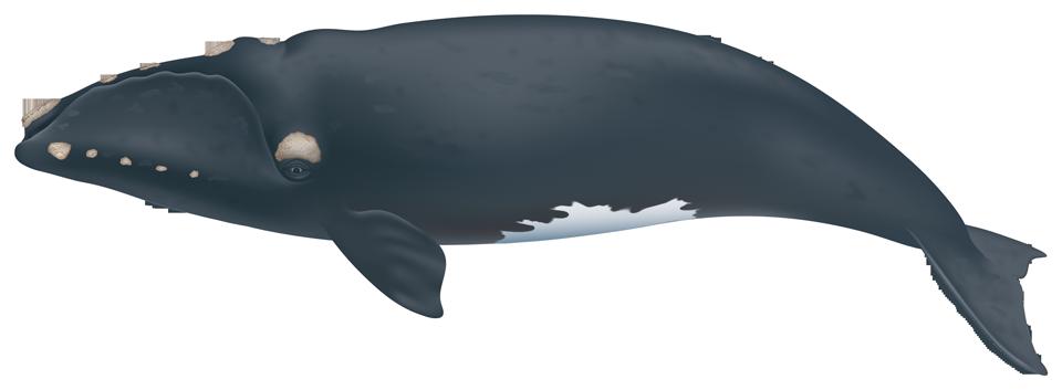 North Atlantic Right Whale (eubalaena glacialis)