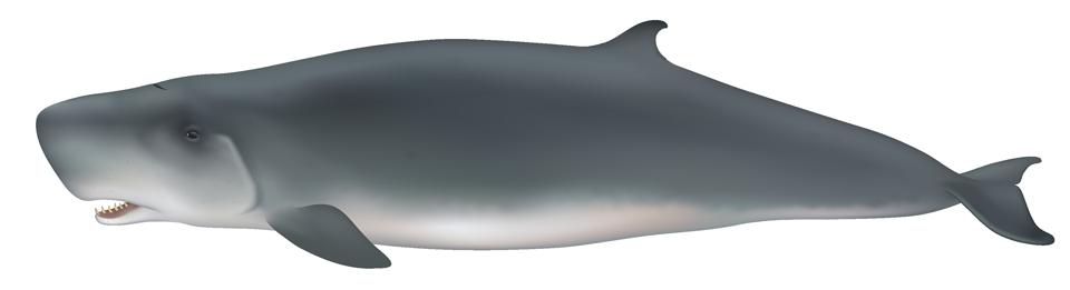 Pygmy Sperm Whale (kogia breviceps)