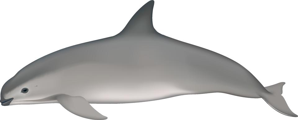 Vaquita (phocoena sinus)