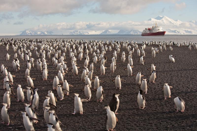 (c) Ted Cheeseman_ChinstrapPenguins2_DeceptionIsland_Antarctica.jpg
