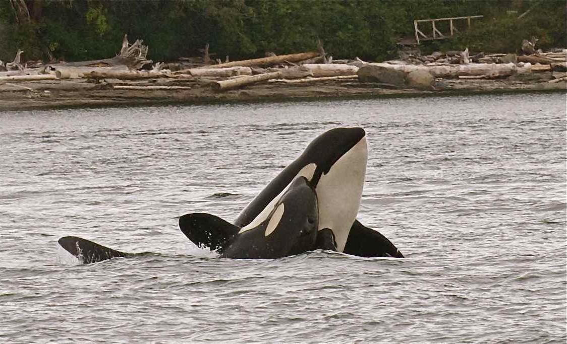 """""""Orca Affection"""" Brothers J27 Blackberry and J39 Mako (c) James Mead Maya"""