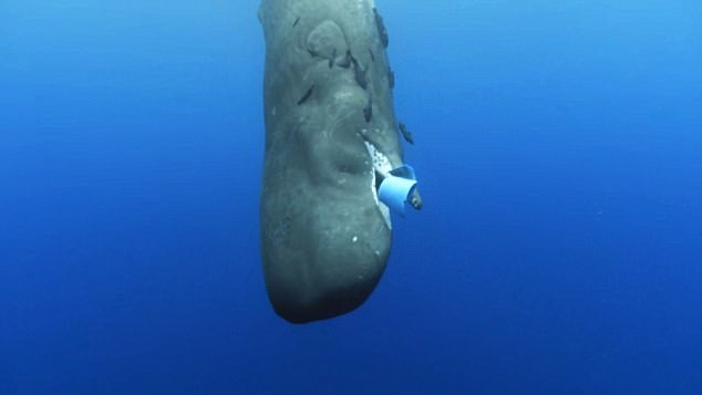 Sperm whale mistaking a plastic bucket for food photo courtesy of  DailyMail.com