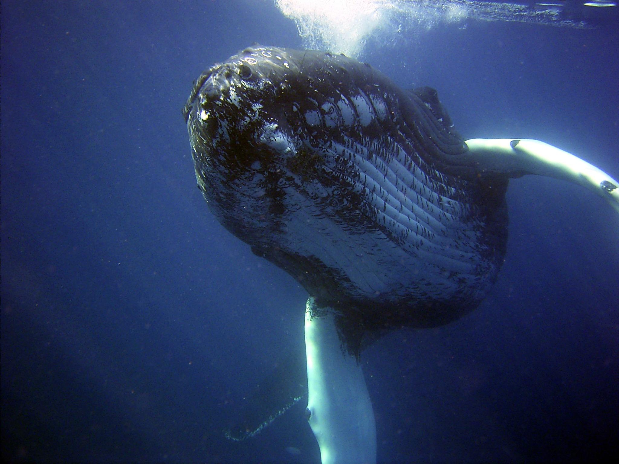 humpback-79854.jpg