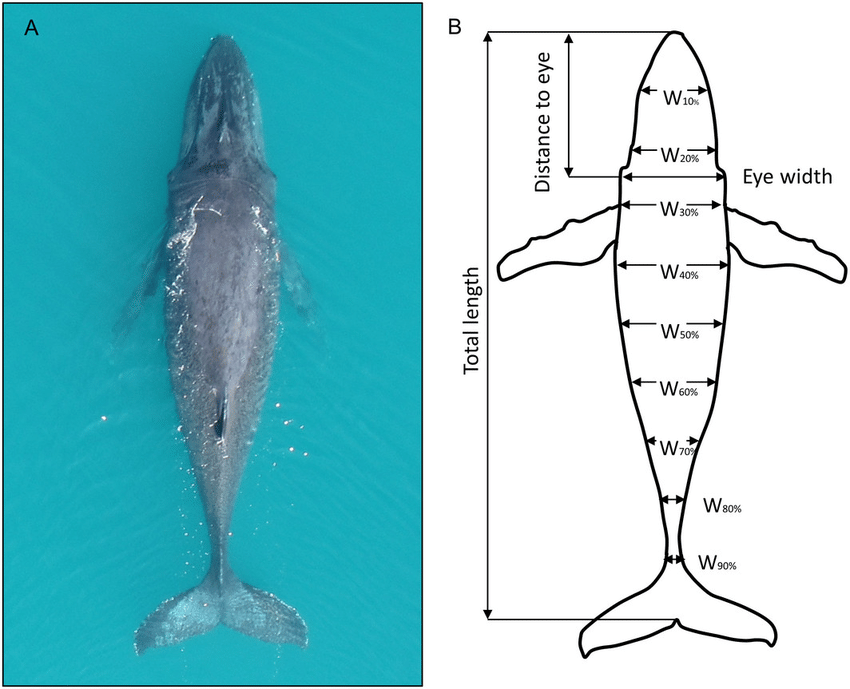 example of aerial view enabling measurement of whale body