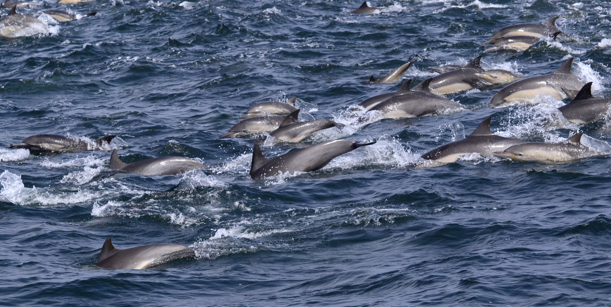 common dolphins -  - photo by Blue Ocean Whale Watch